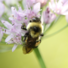 First endangered bee in the United States named